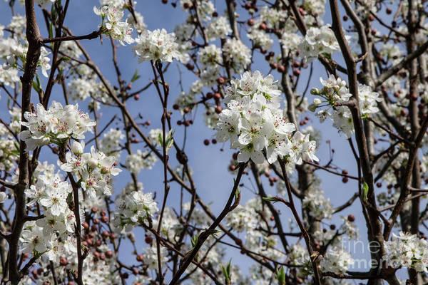 Wall Art - Photograph - Spring Blossoms by Rick Mann