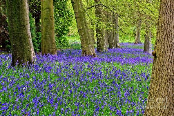 Photograph - Spring Bluebell Woodland by Martyn Arnold