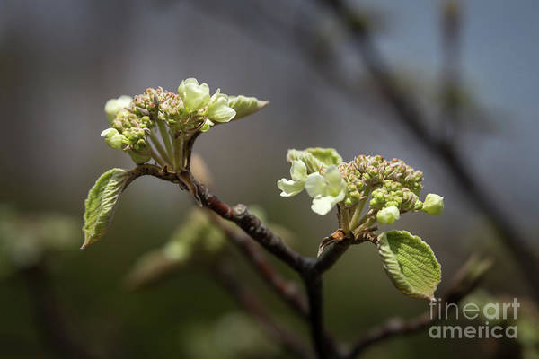Photograph - Spring Buds by Jola Martysz