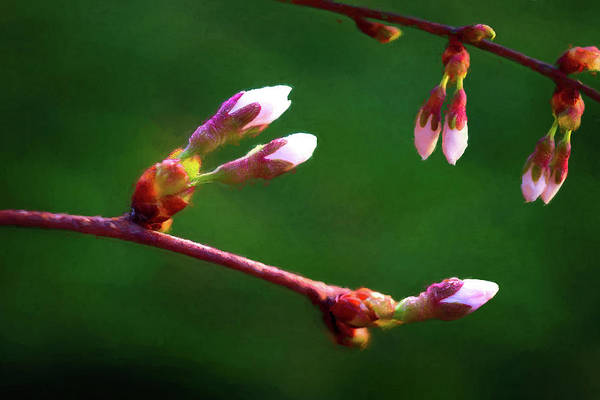 Spring Buds - Weeping Cherry Tree Art Print
