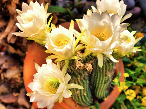 Wall Art - Photograph - Spring Cactus Blooms by Dominic Piperata