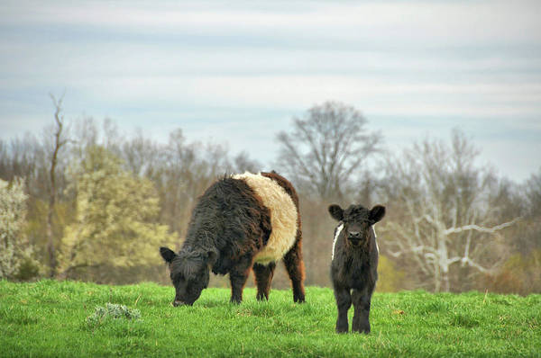 Photograph - Spring Cattle Pasture  by JAMART Photography