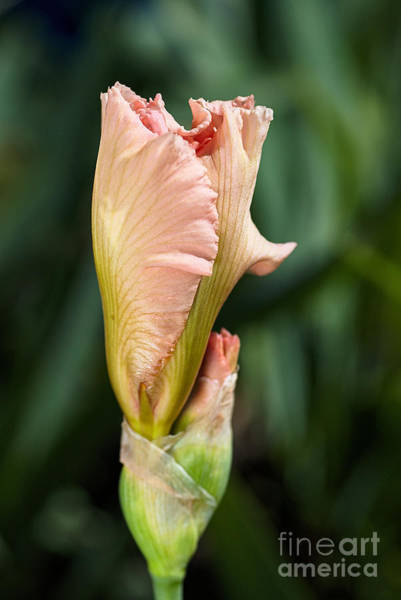 Photograph - Spring Coral Iris by Joy Watson