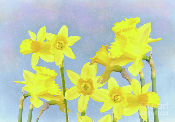 Yellow Trumpet Wall Art - Photograph - Spring Daffodil Beauty by Laura D Young