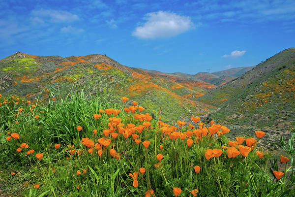 Photograph - Spring Delight In Walker Canyon by Lynn Bauer