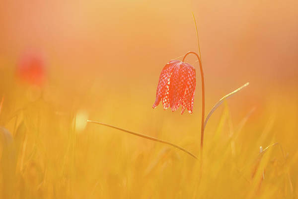 Wall Art - Photograph - Spring Delight - Snake Heads Fritillary  by Roeselien Raimond