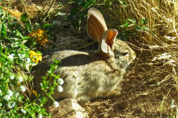 Photograph - Spring Desert Cottontail by Judy Kennedy