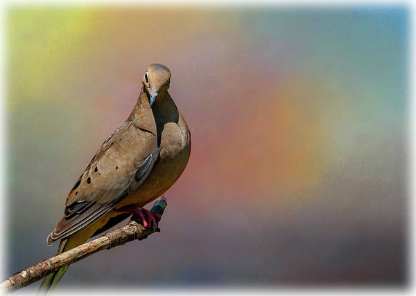 Photograph - Spring Dove by Cathy Kovarik