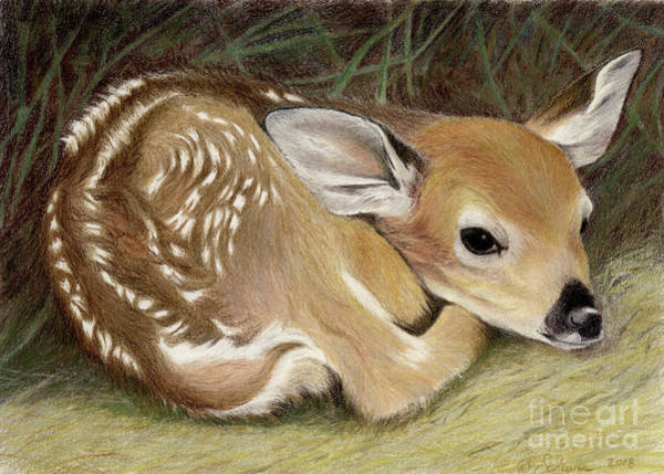 White Tailed Deer Drawing - Spring Fawn by Jackie Irwin