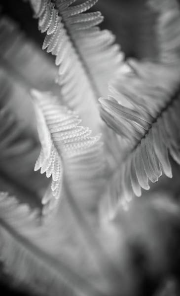 Photograph - Spring Fern Macro In Black And White by Lynn Bauer
