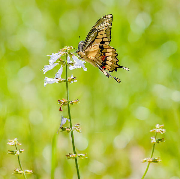 Butterfly On Flower Digital Art - Spring Fling by William Hafermalz
