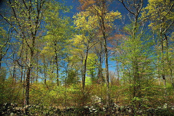 Stonington Photograph - Spring Forest by Karol Livote