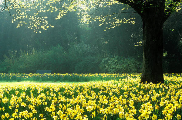 Yellow Photograph - Spring Garden, Narcissus, Tree Bright by Martine Mouchy