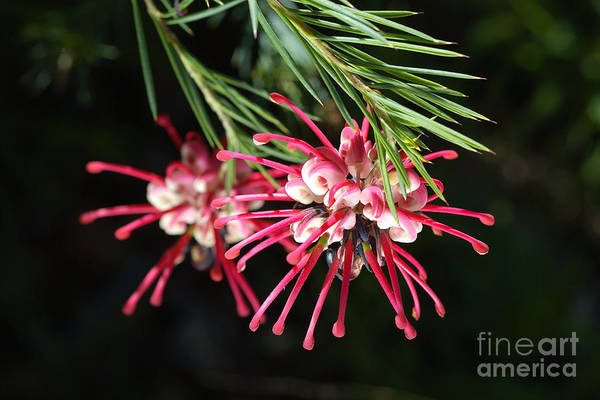 Photograph - Spring Grevillea Of Australia by Joy Watson