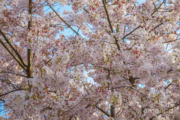 Wall Art - Photograph - Spring Has Sprung Flowering Bradford Pear Tree Blossom Art by Reid Callaway