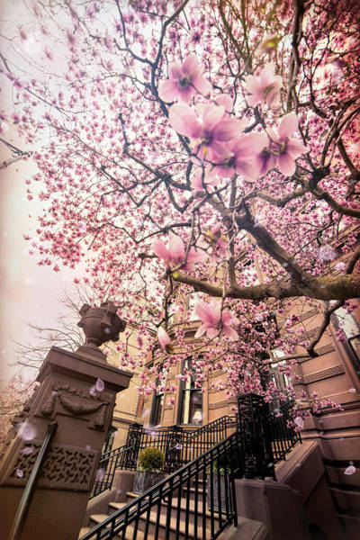 Photograph - Spring In Boston - Magnolia Tree by Joann Vitali