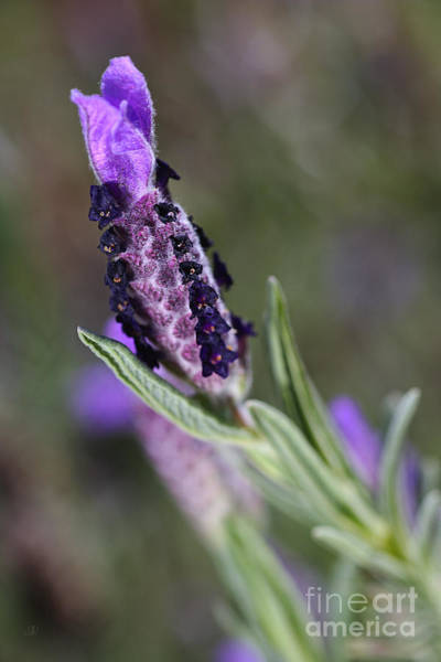 Photograph - Spring Is Smelling Purple Lavender by Joy Watson