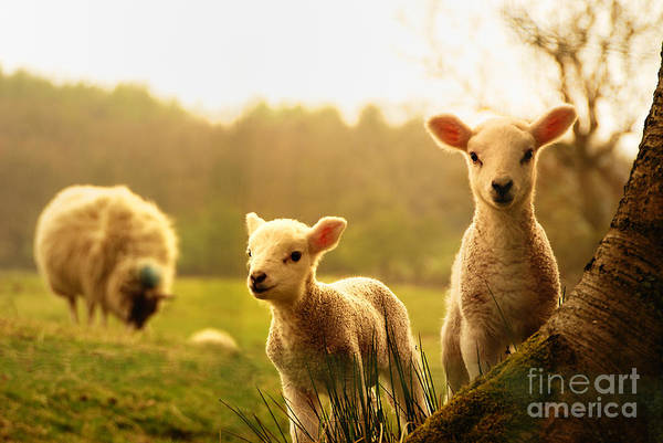 Wall Art - Photograph - Spring Lambs by Drew Rawcliffe