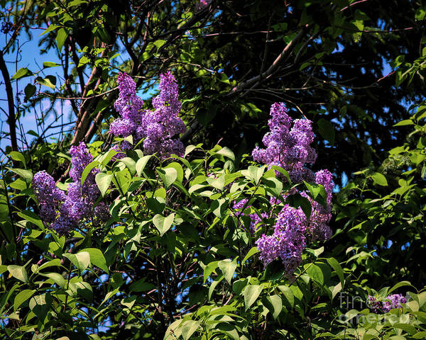 Photograph - Spring Lilacs by Jon Burch Photography