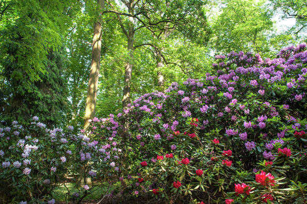 Photograph - Spring Marvels. Lush Rhododendron Blooms 2 by Jenny Rainbow
