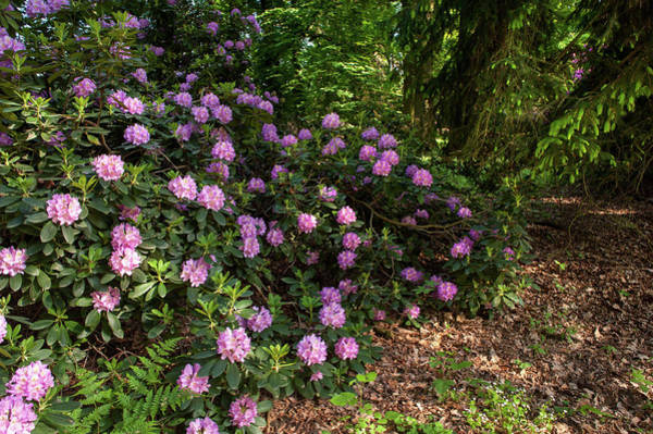 Photograph - Spring Marvels. Lush Rhododendron Blooms  by Jenny Rainbow