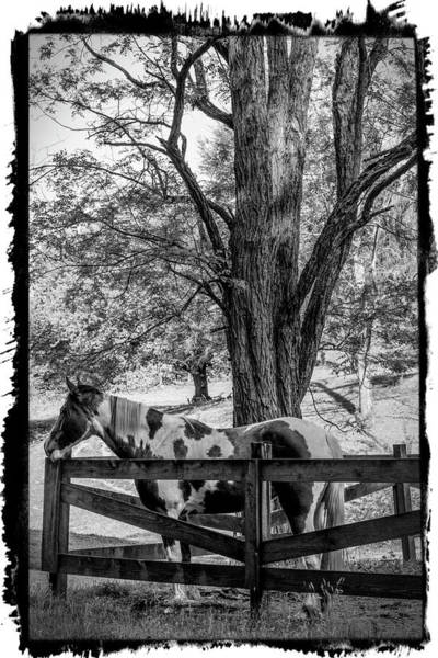 Photograph - Spring Morning At The Fence Black And White Bordered by Debra and Dave Vanderlaan