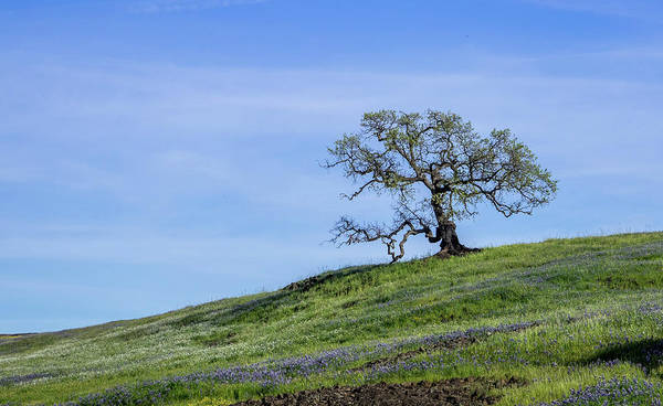 Photograph - Spring Oak by Martin Gollery