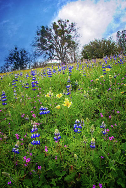 Photograph - Spring Sensations - Superbloom 2019 by Lynn Bauer