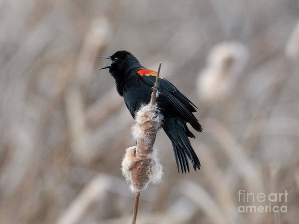 Red-winged Blackbird Wall Art - Photograph - Spring Sing by Mike Dawson