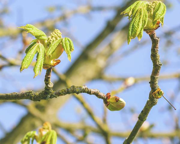 Photograph - Spring Tree Buds Opening E by Jacek Wojnarowski