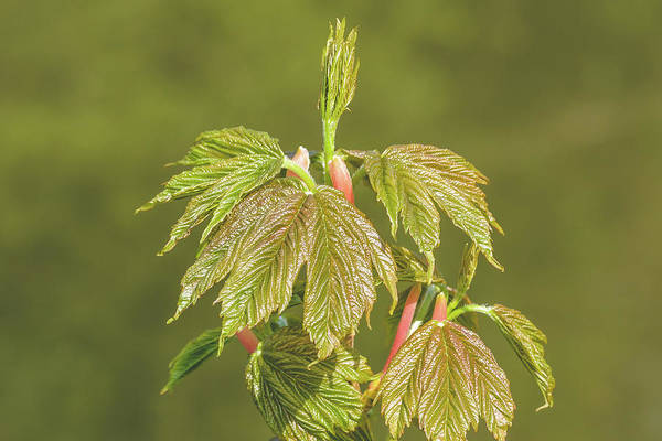 Photograph - Spring Tree Buds Opening P by Jacek Wojnarowski