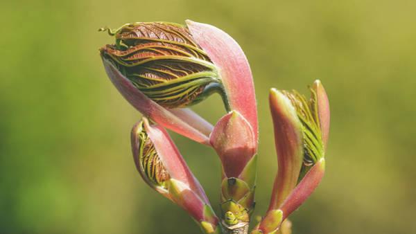 Photograph - Spring Tree Buds Opening Q by Jacek Wojnarowski