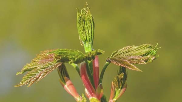 Photograph - Spring Tree Buds Opening T by Jacek Wojnarowski