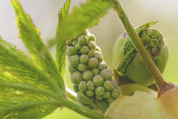 Photograph - Spring Tree Buds Opening X by Jacek Wojnarowski