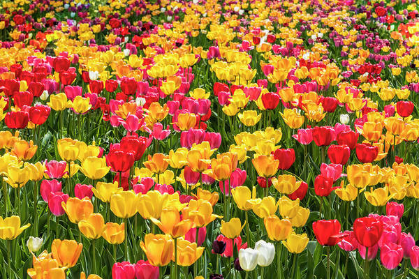 Photograph - Spring Tulip Field #3 - Thousands by Patti Deters