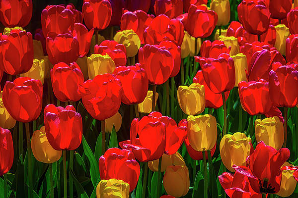 Wall Art - Photograph - Spring Tulips In Red And Yellow by Garry Gay