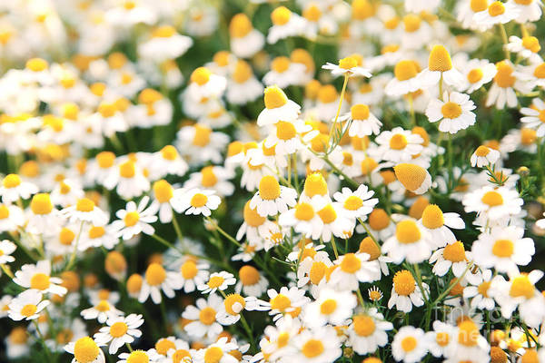 Spring White Daisy Flowers In Nature In Art Print