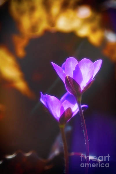 Wall Art - Photograph - Spring Wild Flower 2 by Veikko Suikkanen