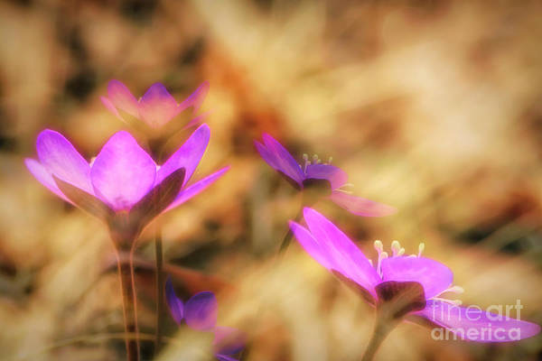Wall Art - Photograph - Spring Wild Flower 4 by Veikko Suikkanen