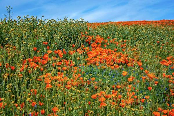 Photograph - Spring Wildflowers Of The 2019 Superbloom by Lynn Bauer