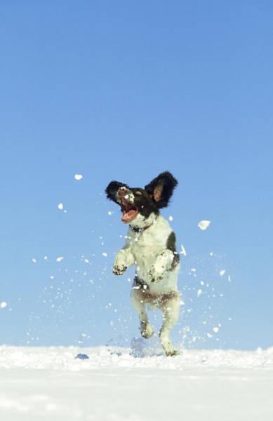 Springer Spaniel Photograph - Springer Spaniel 4 Months Old Jumping by Mark Hamblin