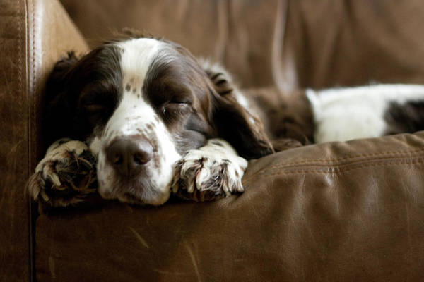 Dog Walker Photograph - Springer Spaniel Sleeping On The Sofa by Michael Tom Walker, Edinburgh, Scotland