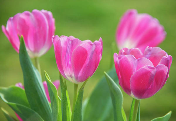 Photograph - Spring's Arrival In The Garden by Lynn Bauer