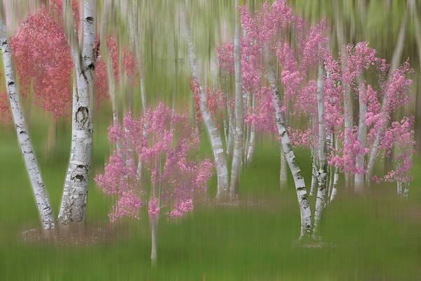 Photograph - Springtime Birch Forest Dreamscape by Debra and Dave Vanderlaan