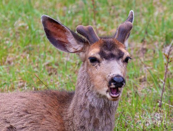 Photograph - Springtime Buck Mule Deer by Steve Krull