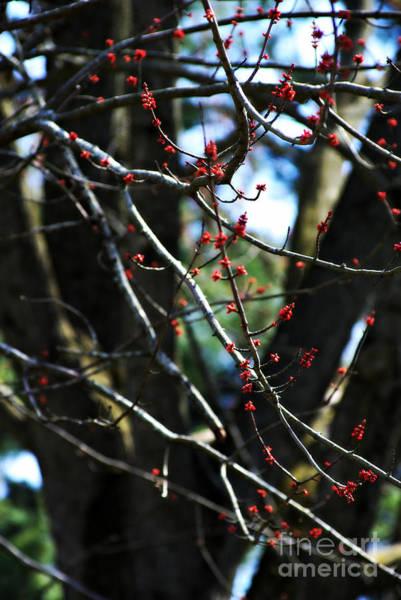 Photograph - Springtime Budding by Frank J Casella