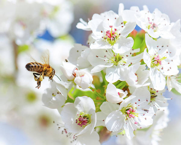 Photograph - Springtime Buzz by Gary Kochel