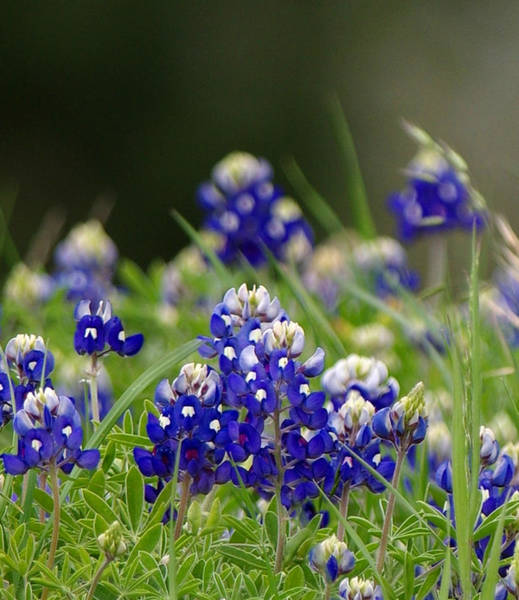 Photograph - Springtime In Blue by Amanda Smith