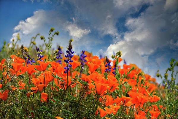 Photograph - Springtime Wildflowers In The Antelope Valley - Superbloom 2019 by Lynn Bauer
