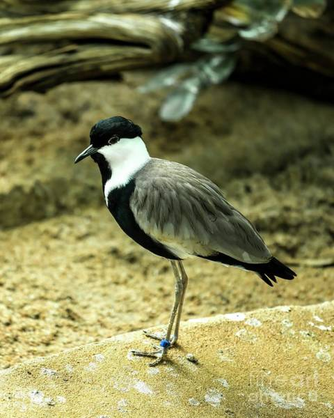 Photograph - Spur-winged Plover by Jon Burch Photography